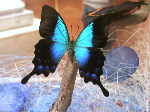 Big neon blue black butterfly photography