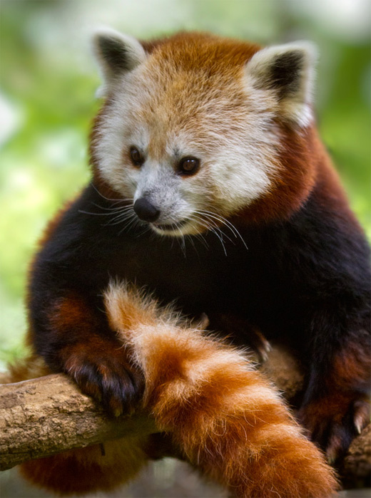Tail sitting red panda photography