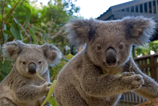 Couple eating koala photography