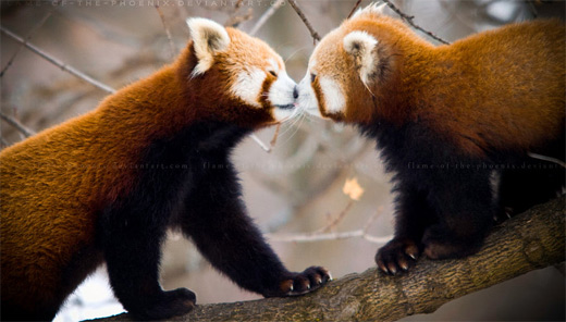 Kissing smelling red panda photography