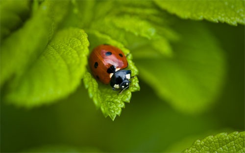 ladybug watcher - desktop background wallpaper