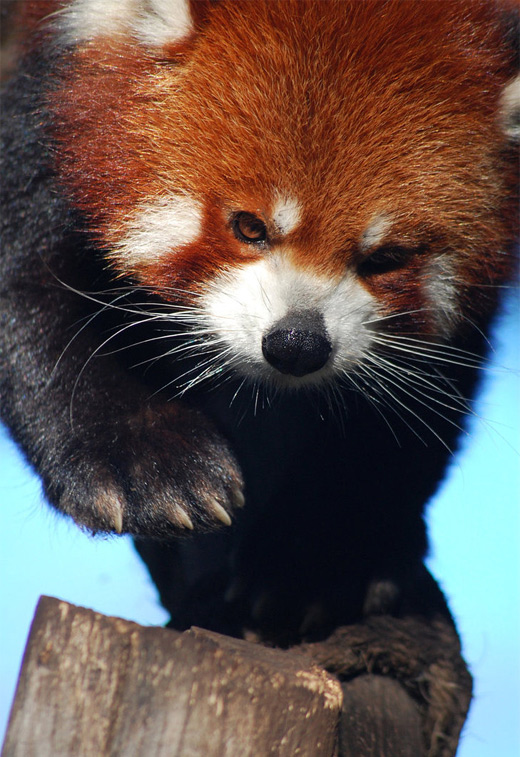 Amazing red panda photography