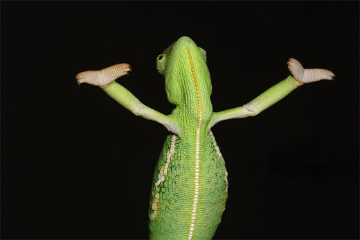 Green posing praising chameleon photography