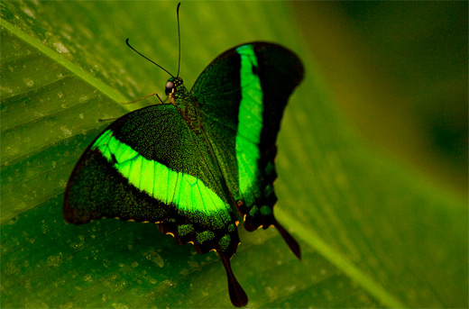 Neon green macro butterfly photography