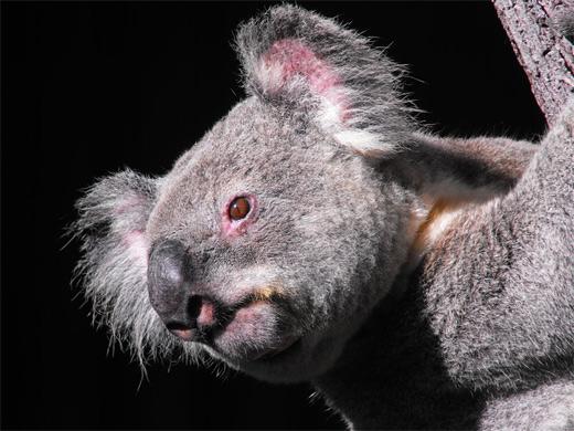 Posing koala photography
