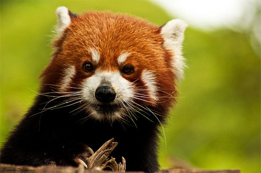 Angry grumpy red panda photography