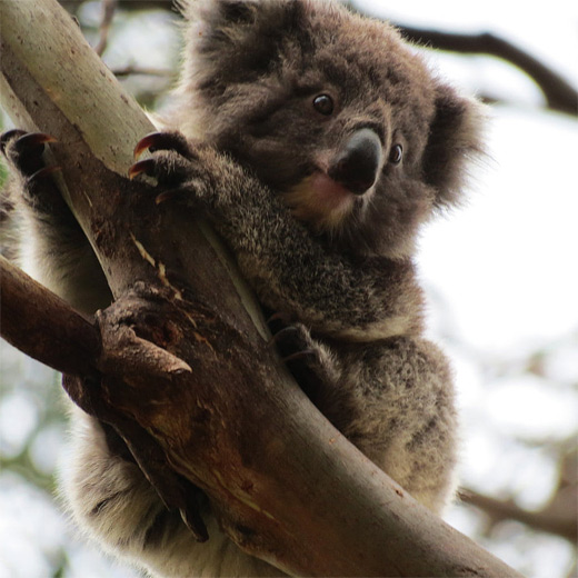 Cute baby -koala-photography.jpg