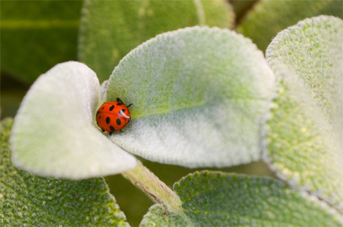 Ladybug in Sage Leaves Wallpaper