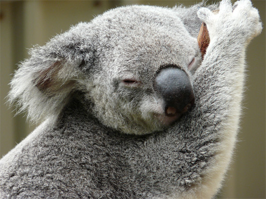 Furry sleeping koala photography