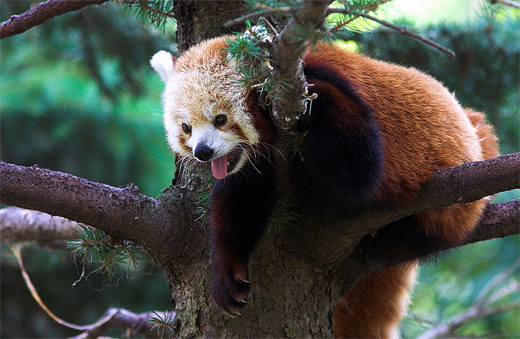 Hanging tree red panda photography
