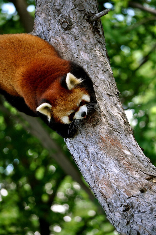 Climbing red panda photography