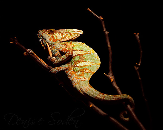Spotlight chameleon photography