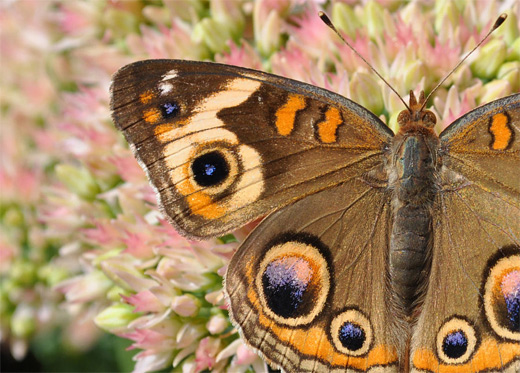 Brown circle pattern butterfly photography