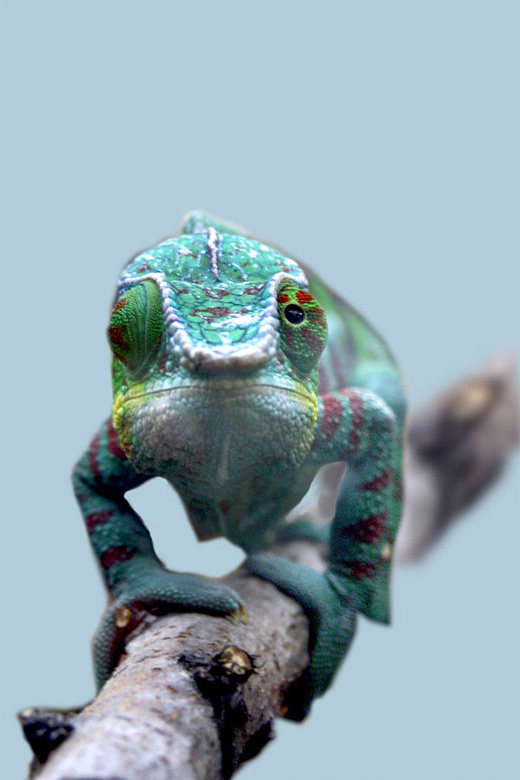 Colorful walking chameleon photography