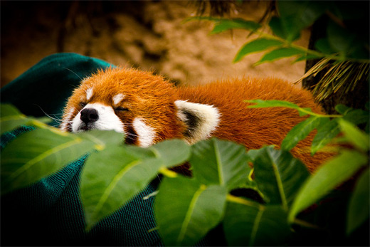 Sleeping leaves red panda photography
