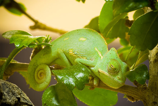 Green sleeping chameleon photography