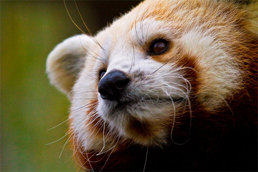 Close up face red panda photography