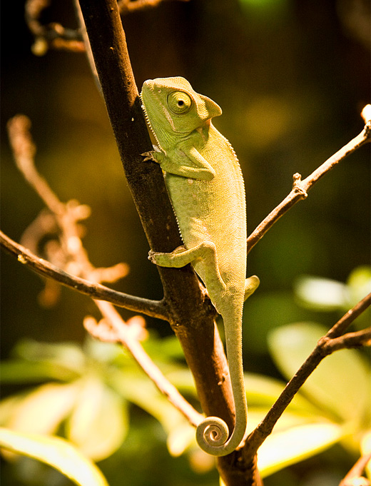 Yellow branch chameleon photography