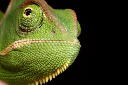 Green close up chameleon photography