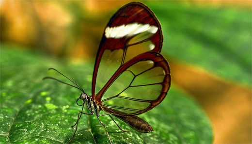 Transparent wings butterfly photography