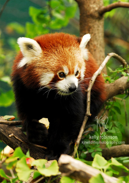 Walking leaves tree red panda photography