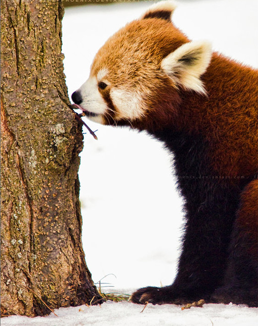 Eating wood red panda photography