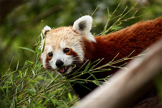 Happy red panda photography