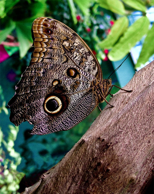 Brown owl butterfly photography