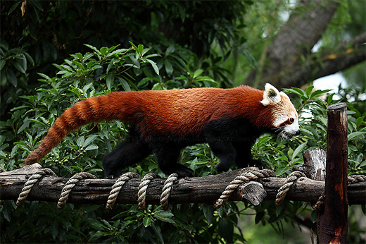 Happy walking red panda photography