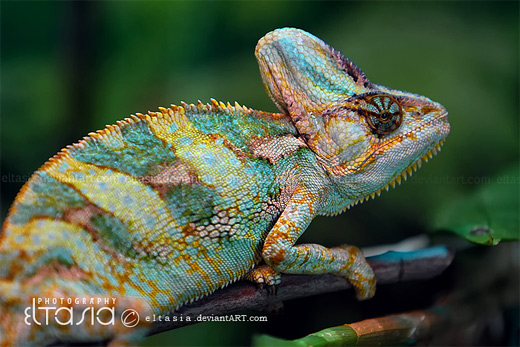 Pretty colors chameleon photography