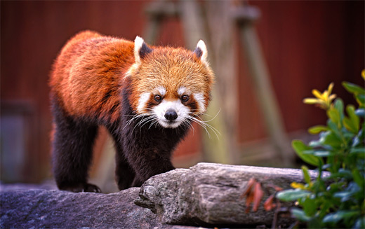 Walking red panda photography