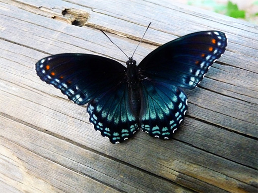 Black butterfly photography