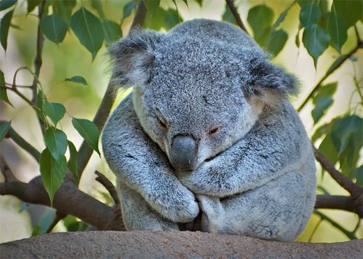 Lonely koala photography