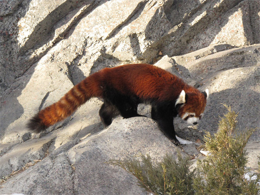 Rocks red panda photographyRocks red panda photography