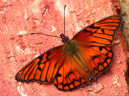 Red orange butterfly photography