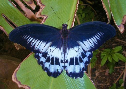 Dark blue butterfly photography