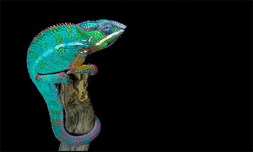 Panther posing chameleon photography