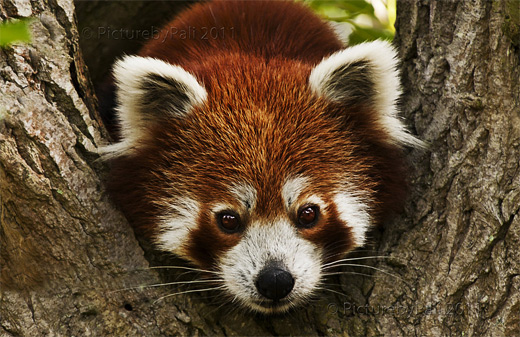 Staring cute red panda photography