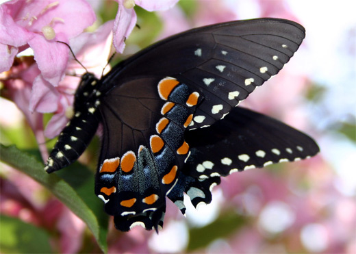Black orange heart butterfly photography