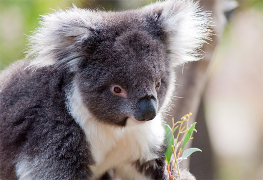 Cute furry koala photography