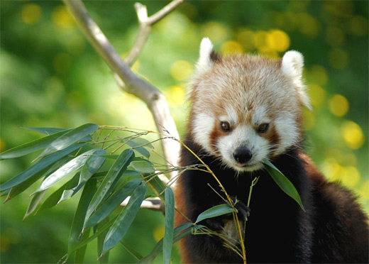 Eating leaves red panda photography