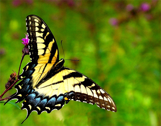 Black yellow butterfly photography
