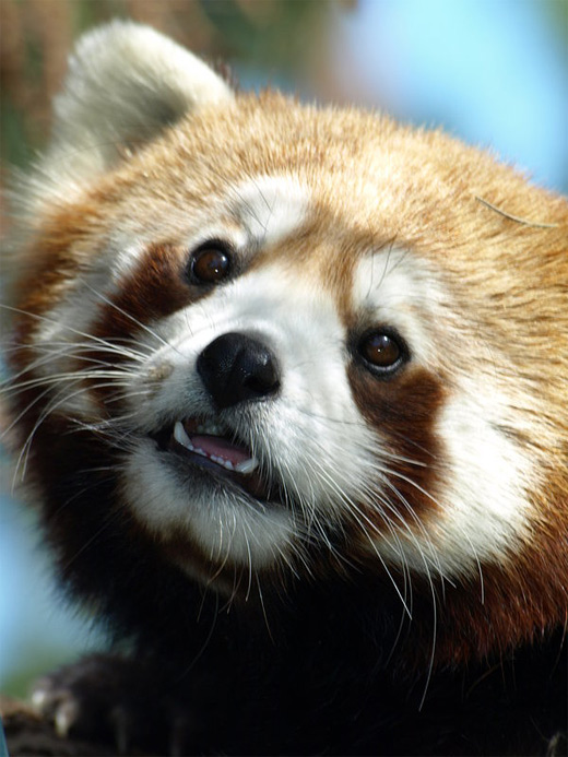 Face cute adorable red panda photography