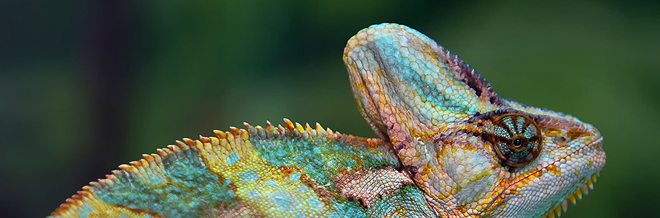 33 Splendid Chameleon Photography With Colorful Show Offs