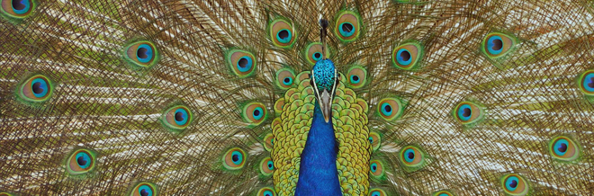 30 Lovely Peacock Pictures for your Inspiration