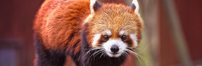 35 Extremely Cute Red Panda Photography that Will Make You Go Awe