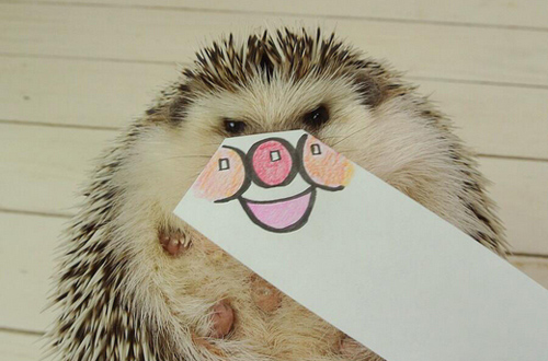 Marutaro Hedgehogs pictures photos