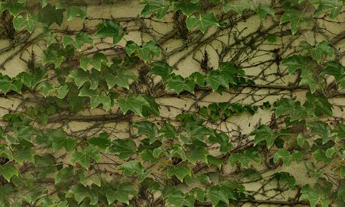 Seamless ivy texture