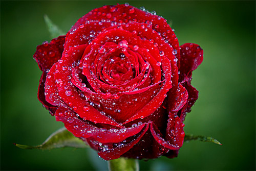 red dew rose picture