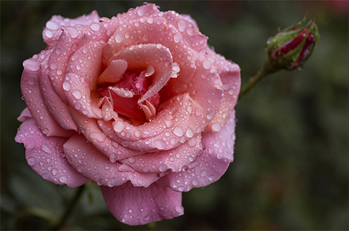pink rose picture rain